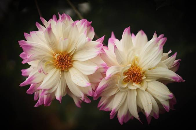 beau-v-white-pink-flowers